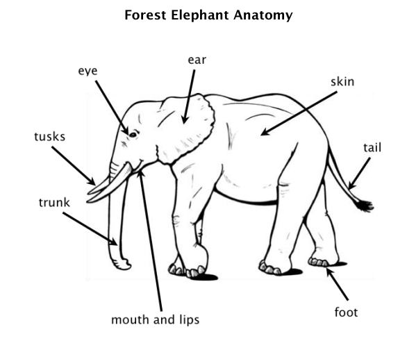 Elephant anatomy kids corner picture ccuart Image collections